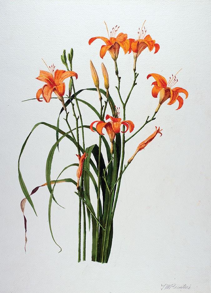 Prentice lily